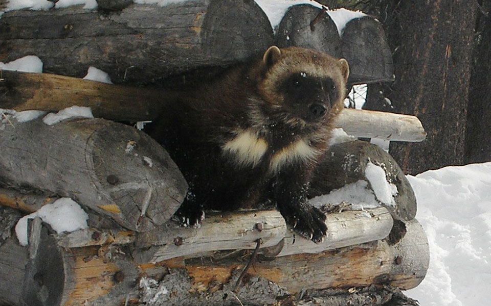 "Wolverine Coming out of ""Cubby"", Idaho (Photo: ??)"
