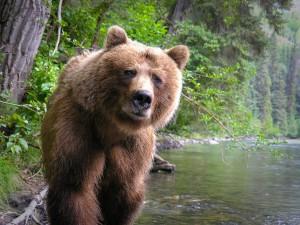 Taku_Nakina_River_Grizzly